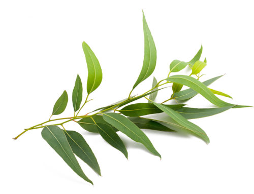 Tea Tree Oil: 5 Benefits for Healthy Body, Skin and Hair